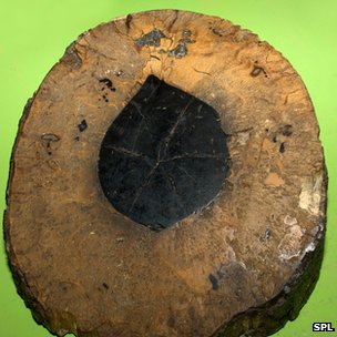 Ebony tree cross-section