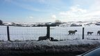 Snow covered fields and sheep behind a fence, walking in the field.