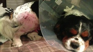 Injured King Charles Spaniel, Spot