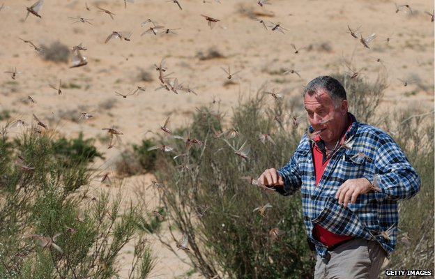 An Israeli man walks through a swarm of locusts in Kmehin, in the Negev desert, on the border with Egypt