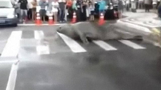 An elephant seal in the road