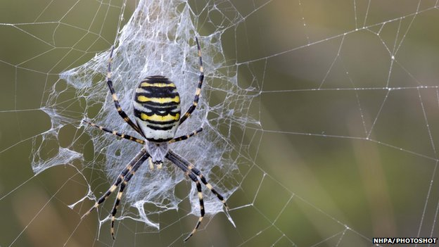Wasp spider female on a web by David Chapman