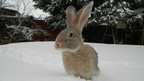 A sandy coloured rabbit with ear standing up is sitting in the snow.