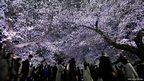 Visitors walk under illuminated cherry blossoms in full bloom along the Chidorigafuchi moats in Tokyo