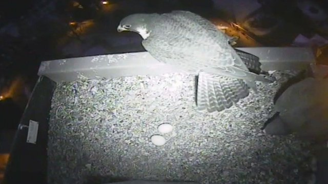 Second egg laid by Norwich peregrine falcons