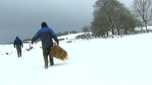 Farmers bringing out hay for their sheep