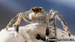 A Himalayan jumping spider
