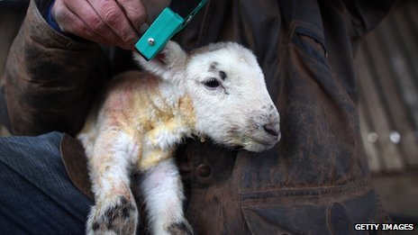 Farmer tagging lamb