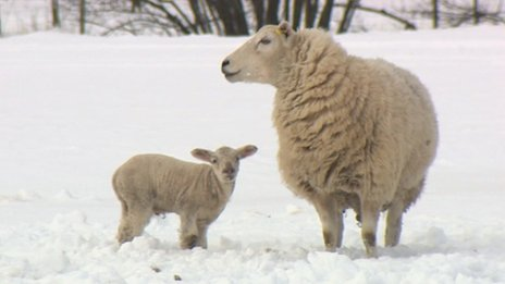 Ewe and lamb on James Evans' farm