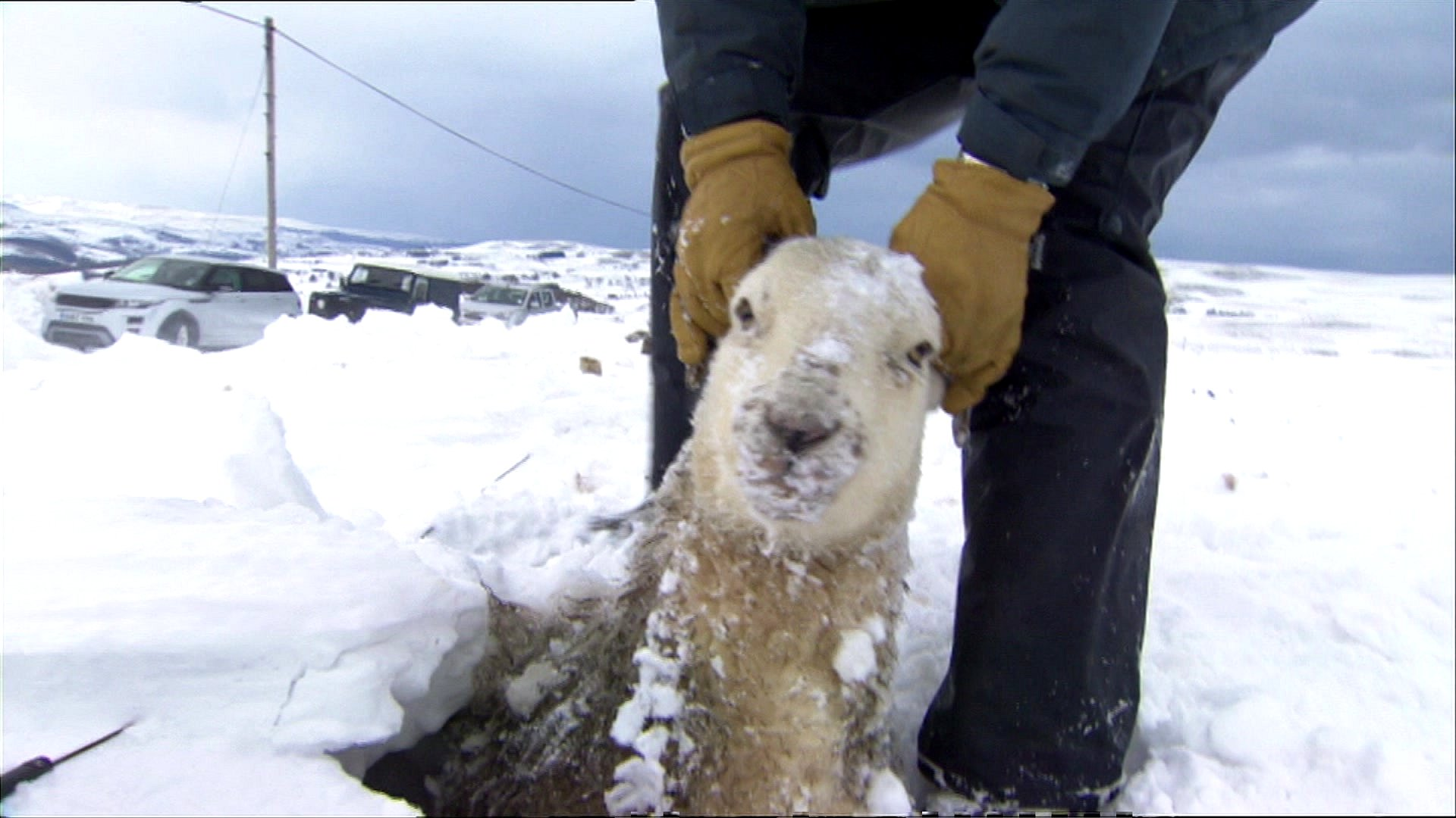A sheep being pulled out of a snow drift