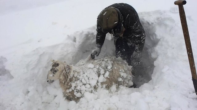 Sheep being dug out of snow