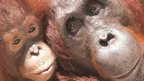 Orangutan infant and mother
