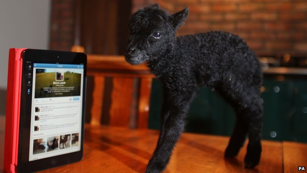 Tiny lamb next to a tablet computer