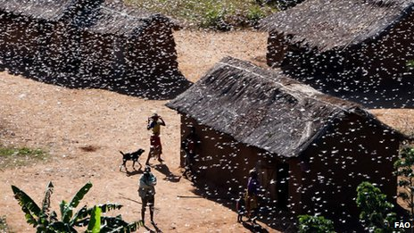 Swarm of locusts in Madagascar