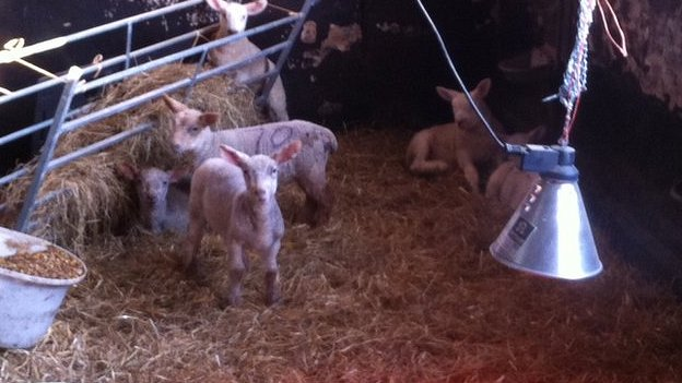 Bbc News Suffolk Lambs Given Infra Red Heating Lamps In The Cold Weather