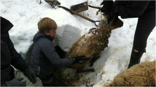 A sheep being pulled out of snow Isle of Man