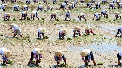 Taiwan, rice field