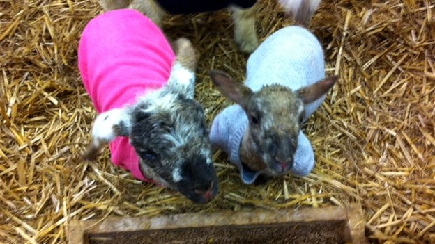 Woolly jumpers for chilly lambs