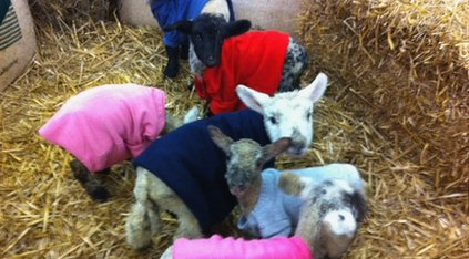 lambs with jumpers!
