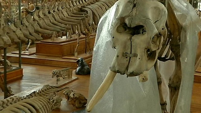 Elephant skeleton with missing tusk