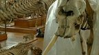 Elephant skeleton loses tusk in theft