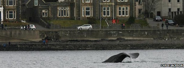 Sperm whale in Oban Bay (picture by Chris Jackson)