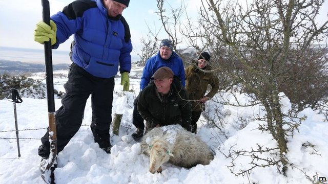 Farmers search for sheep under snow in Llanfairfechan