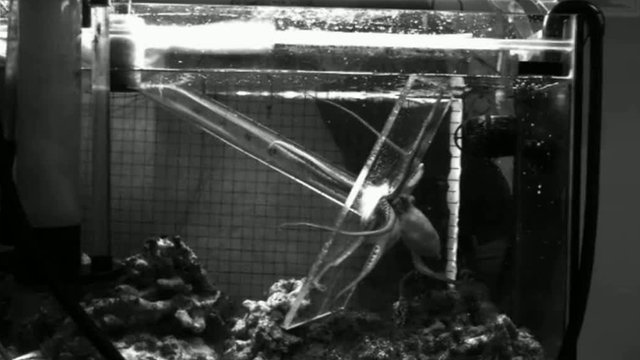 An octopus extends its arms towards bait in a tube