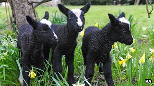 Lambs born in North Yorkshire