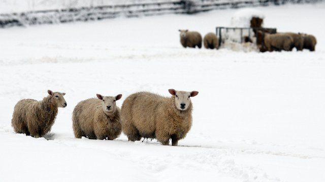 Sheep in snow in Mold, Flintshire, in March 2013