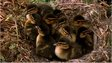 Ducklings in a nest