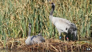 Cranes nest in southern England