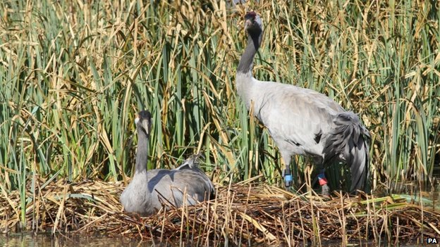 Crane nesting in southern England
