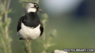 Lapwing: BBC Nature