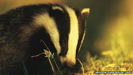 Badger: BBC Nature