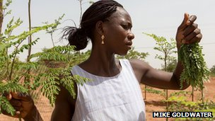 A woman picking and drying moringa leaves