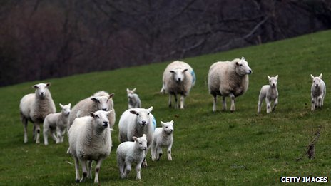 Lambs and ewes