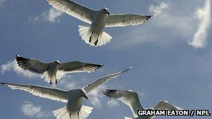 Herring Gull: BBC Nature