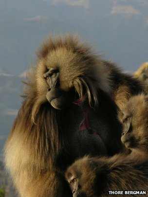 gelada primate human speech patterns