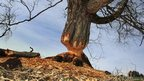 A birch tree gnawed by beavers