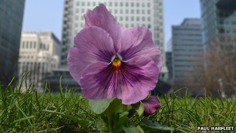 Pansy in Canary Wharf