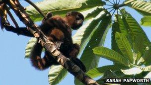 A Poeppig's woolly monkey in a tree