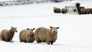 Sheep in snow in Flintshire