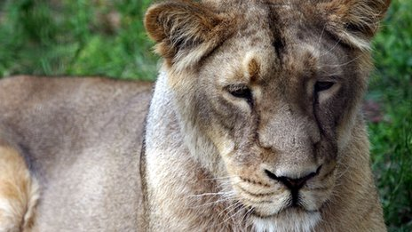 An Asiatic lion at London Zoo