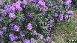 Rhododendron ponticum (c) Rasbak
