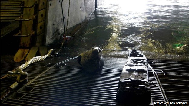 Seal on HMS Bulwark dock