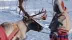Sami with reindeer