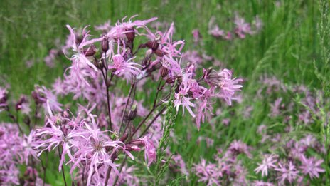 Ragged Robin is one of the different types of wildflower planted on the verge