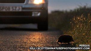 Hedgehog and car