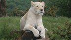 White lion at West Midland Safari Park